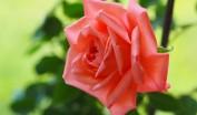 薔薇のいのち